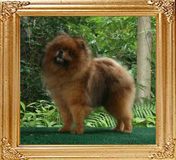 Bomber_of_Pu_Tao_Weng_Pomeranian_Kennel_5yr_9mo_47661.jpg