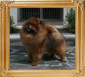 Bomber_of_Pu_Tao_Weng_Pomeranian_Kennel_6yrs_47661.jpg