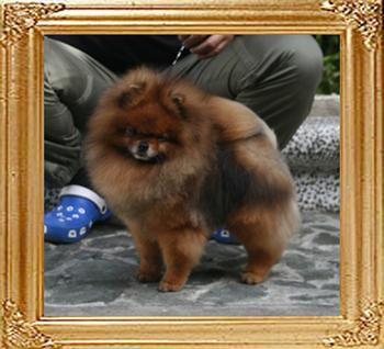 Bomber_of_Pu_Tao_Weng_Pomeranian_Kennel_7783_final.jpg
