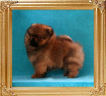 Canton_Dream_Keeper_2mos_1wk_1.6lbs_framed.jpg