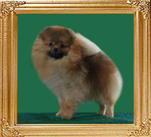 Mara_of_Chin_Chin_Pomeranian_Kennel.jpg