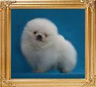 Canton_White_Whisper_1lbs__2mo_1wk_47080.jpg