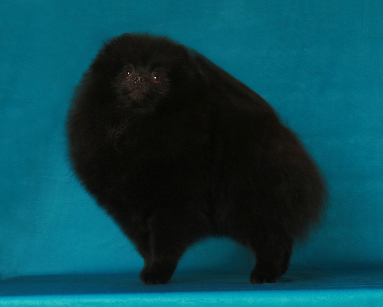 Canton Pomeranians