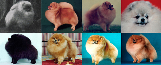16 Breeding By The Checkbook Canton Pomeranians