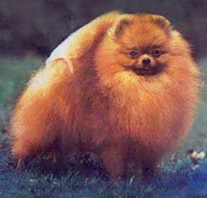 18: Pomeranian Sizes | Canton Pomeranians