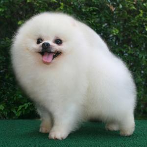 Show White Pomeranian
