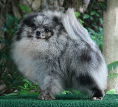 Blue Speckled Marbled Eye Pomeranian