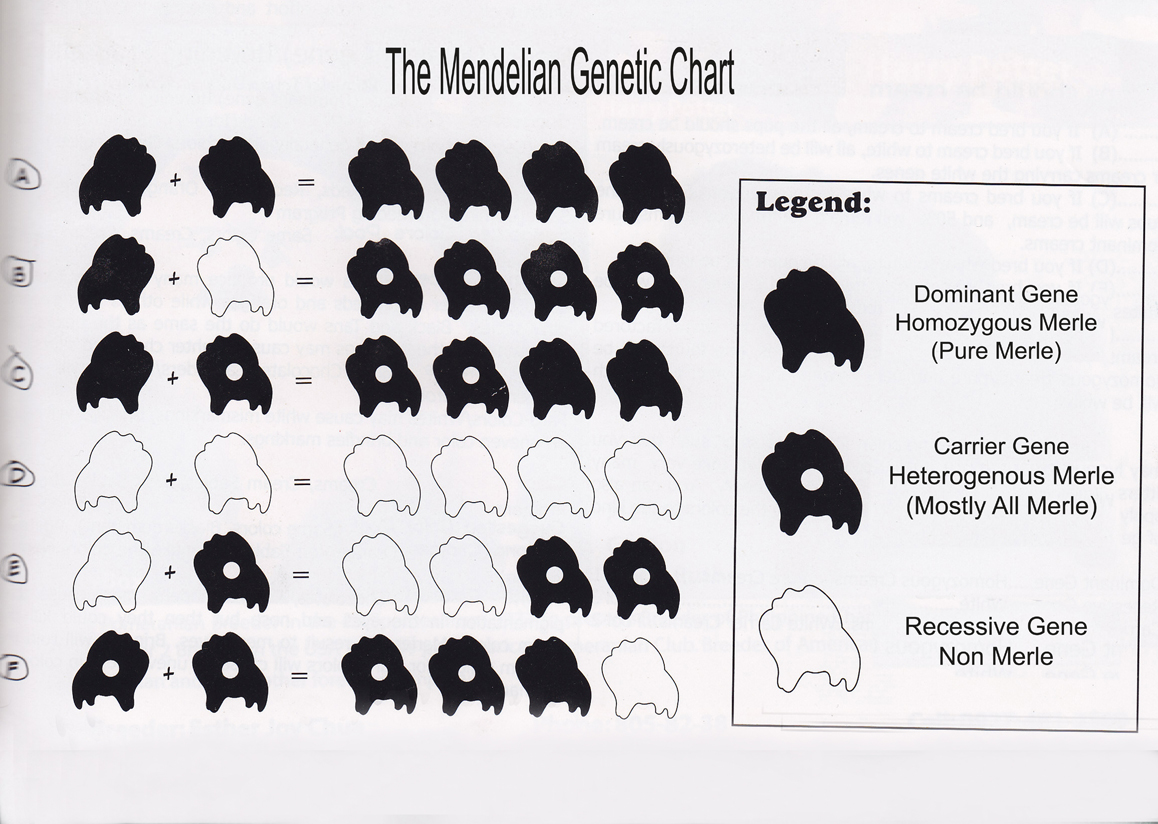 60 the legend of a the blue speckled marbled eye pomeranian first let us come up with the mendelian genetic chart and define the dominant the carrier and the recessive gene nvjuhfo Images