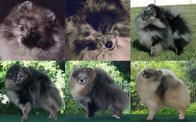 Merles Are Exotic Canton Pomeranians