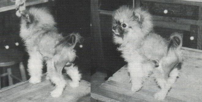 Black Skin Disease: A Nightmare in Pomeranians   Canton Pomeranians