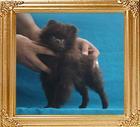 Yingyang_Chocolate_Chili___2.64lbs_3mo_3wk_P6-6_6504.jpg