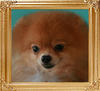 19309z_Paean_of_Lin_Chin_Pomeranian_Kennel.jpg
